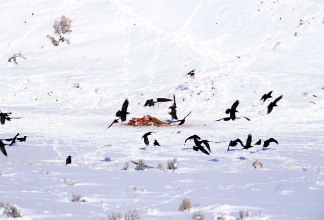 One Bald Eagle & one Golden Eagle landing on elk carcass near the Lamar River (elk killed by Slough Creek wolf pack) Picture