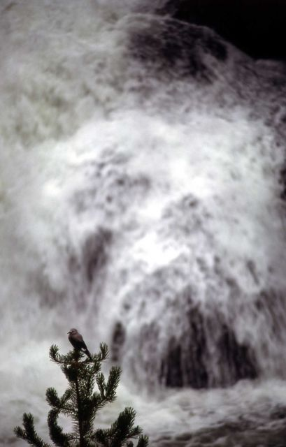 Clark's Nutcracker & waterfall Picture