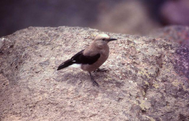 Clark's Nutcracker begging at Gibbon Falls Picture