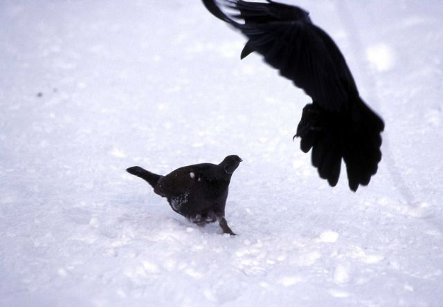 Raven & Grouse stand-off at Old Faithful Picture