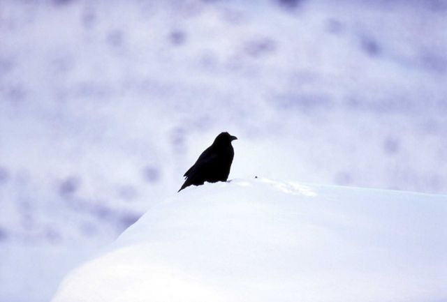 Raven near Junction Butte Picture