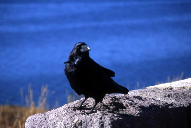 Raven at Steamboat Point Picture