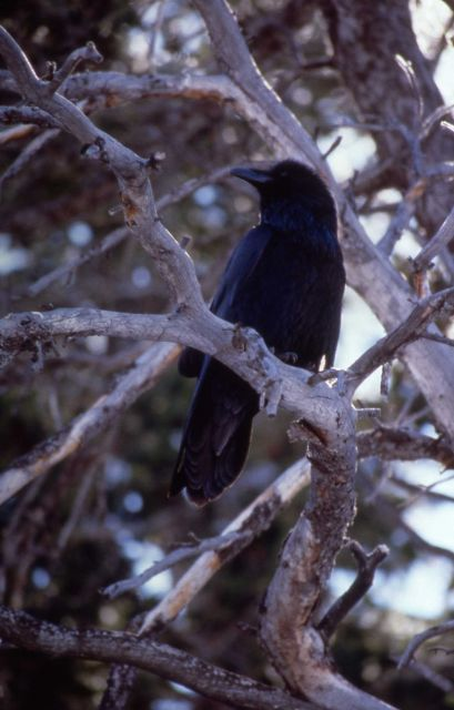 Raven at Reservoir Spring, Mammoth Hot Springs Picture