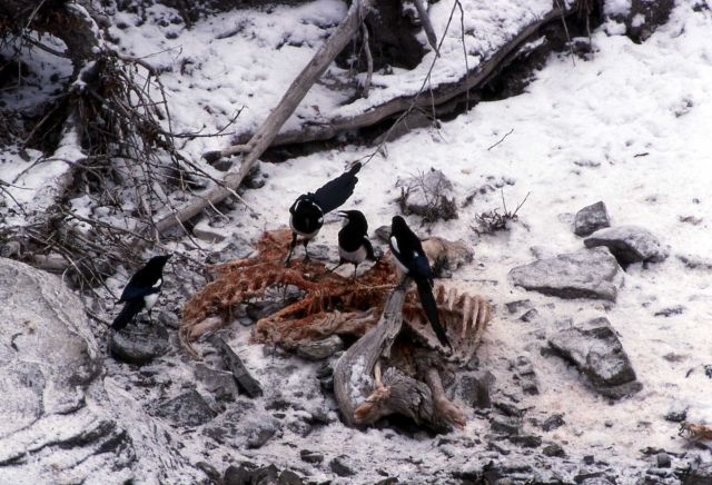 Magpies on Bighorn Sheep Picture