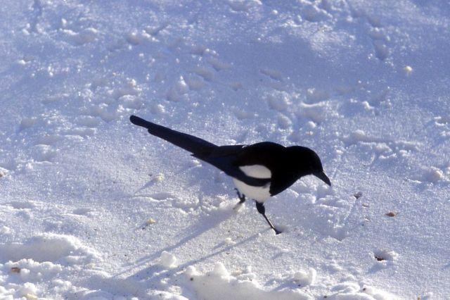 Magpie Picture