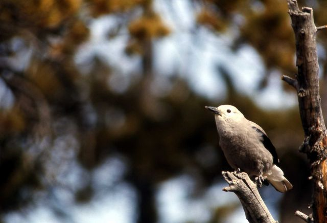 Clark's Nutcracker Picture