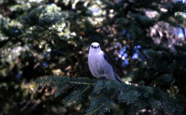 Grey Jay Picture