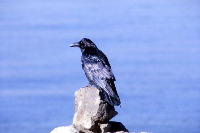 Common Raven Picture