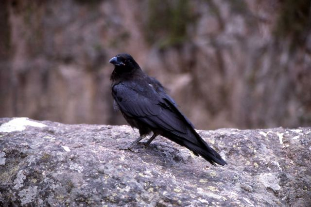 Common Raven Picture