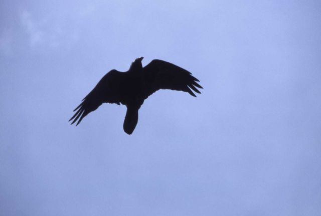 Common Raven in flight Picture