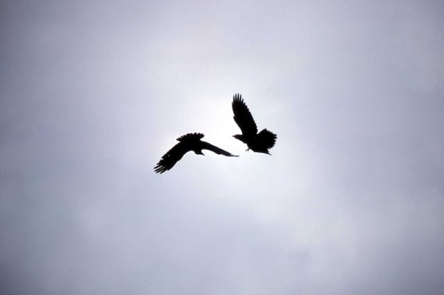 Two Common Ravens in flight Picture