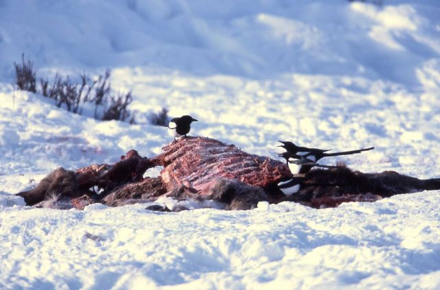 Magpies on elk carcass in winter at Tower Picture