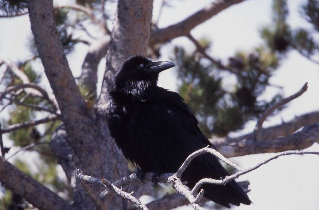 Raven in a tree at Midway Geyser Basin Picture