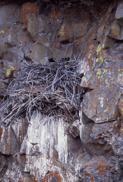 Raven sitting in a nest at Golden Gate Picture
