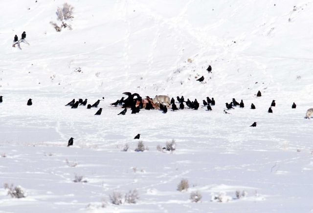 55 ravens at wolf kill site near the Lamar River (elk killed by Slough Creek wolf pack) Picture
