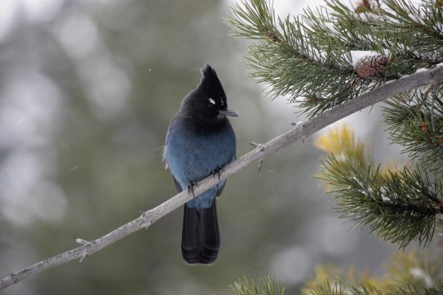 Steller's jay near Silver gate, MT Picture
