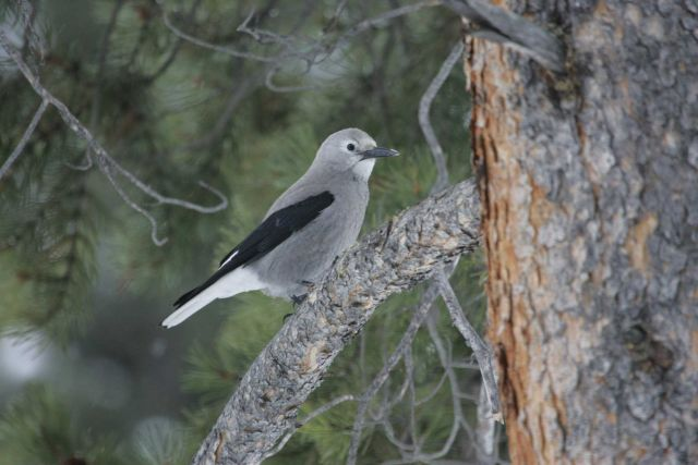 Clark's nutcracker near Silver Gate, MT Picture