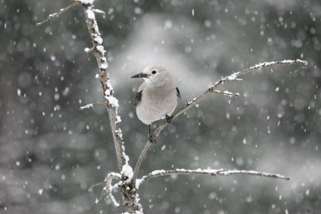 Clark's nutcracker in snowfall near Silver Gate, MT Picture