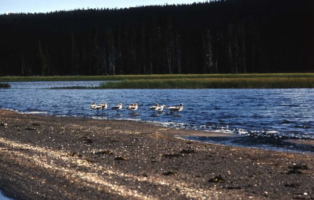 American Avocets on Shoshone Lake Picture