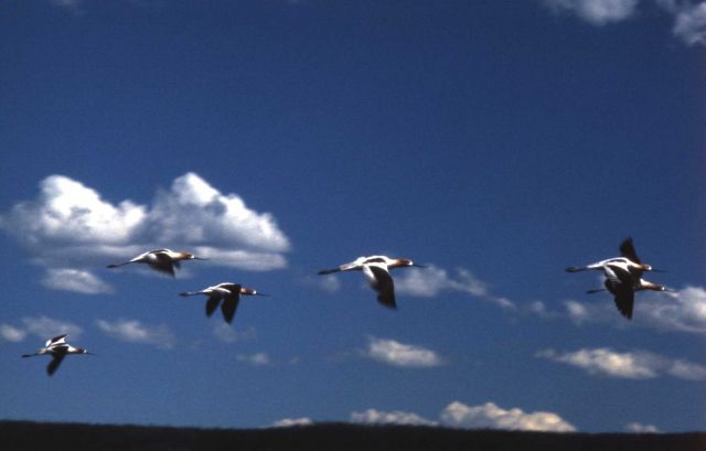 American Avocets with summer plumage in flight over Shoshone Lake Picture