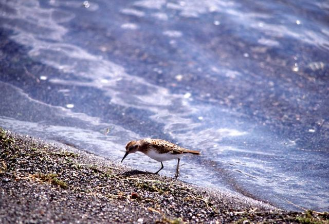 Sanderling on shore Picture