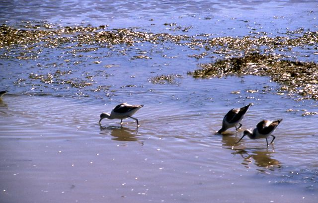 Three Avocets foraging in Trout Creek, Hayden Valley Picture