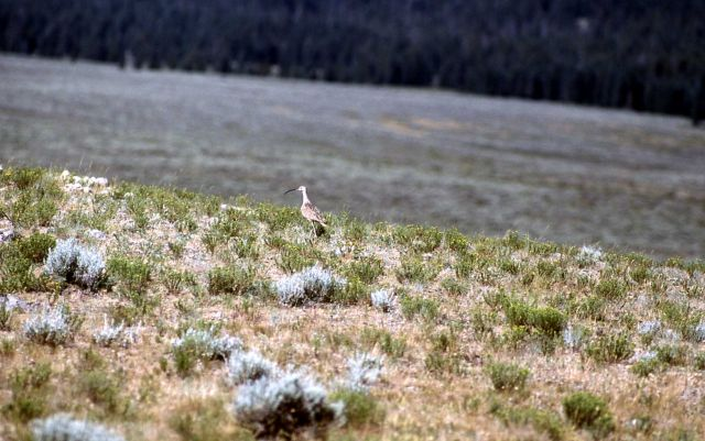 Curlew in Gardner Hole Picture