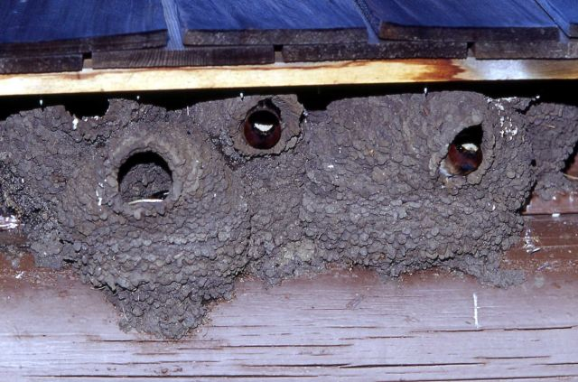 Cliff Swallows in nests on building Picture