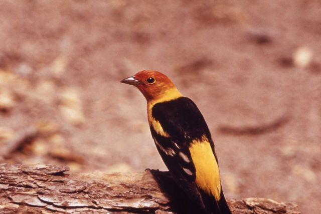 Male Western Tanager Picture