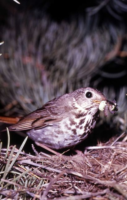 Hermit Thrush with insect Picture