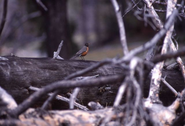 Male Robin on downed tree in the Madison Valley Picture