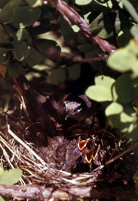 MacGillivrary's Warbler & nestling Picture