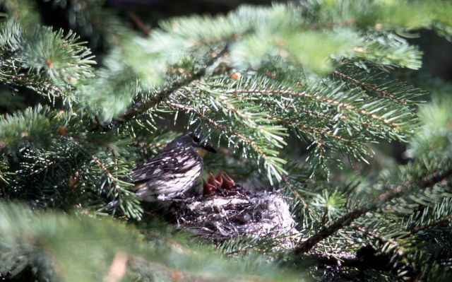 Yellow-rumped Warbler feeding nestlings Picture