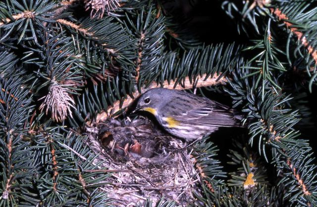 Yellow-rumped Warbler standing on nest with young Picture