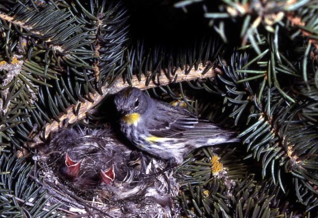 Yellow-rumped Warbler standing on nest with youn Picture