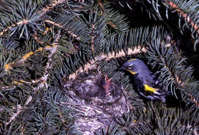 Yellow-rumped Warbler feeding young Picture