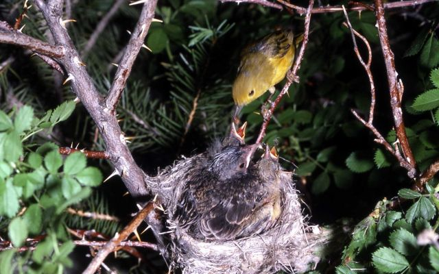 Yellow Warbler feeding young Picture