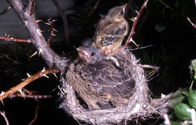 Young Yellow Warbler in nest Picture