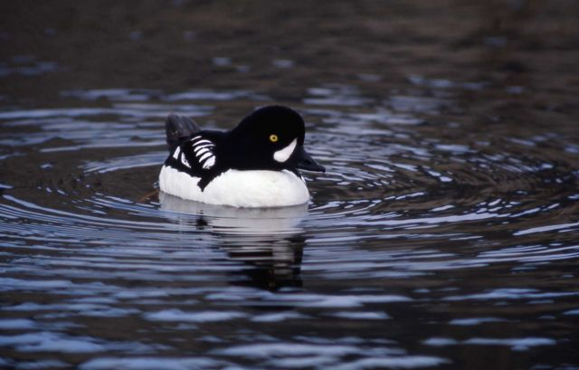 Barrow's goldeneye drake Picture
