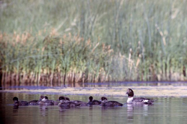 Barrow's goldeneye hen & brood Picture