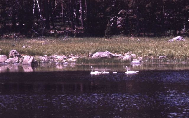 Trumpeter swan adults & cygnets Picture