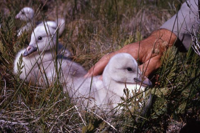 Trumpeter swan cygnet Picture