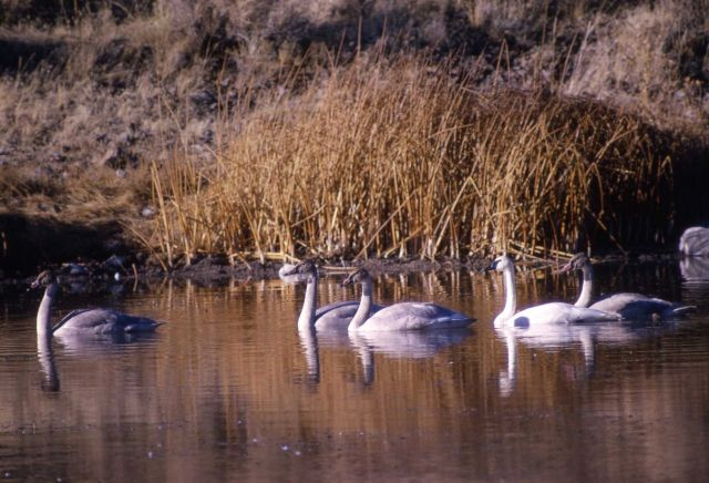One adult trumpeter swan & four immatures Picture