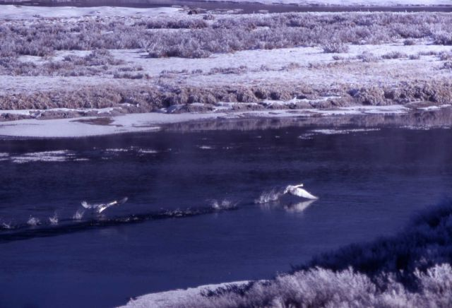 Trumpeter swan pair taking off in winter Picture
