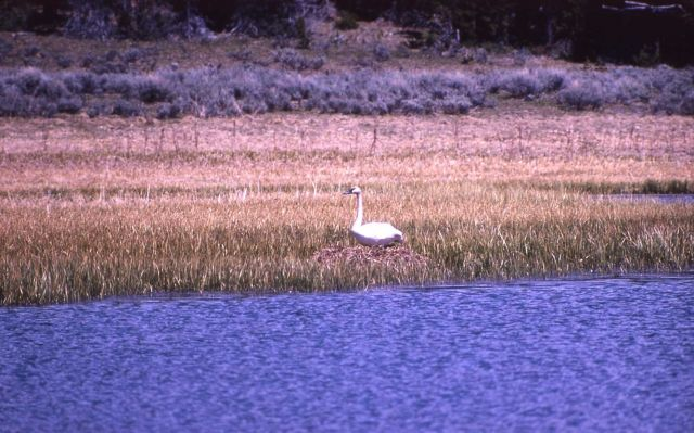 Trumpeter swan adult on nest Picture