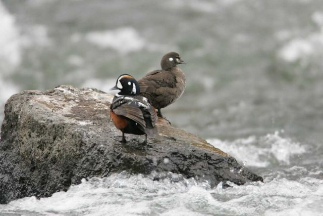 Male & female Harlequin Ducks at LeHardy Rapids Picture