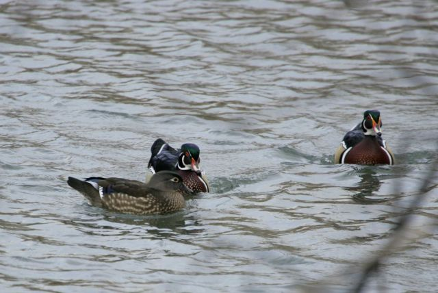 Female and two male wood ducks, Livingston,MT Picture