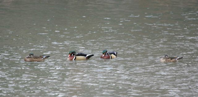 Female and male wood ducks, Livingston, MT Picture