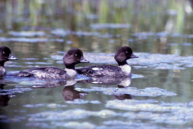 Immature barrow's goldeneye Picture