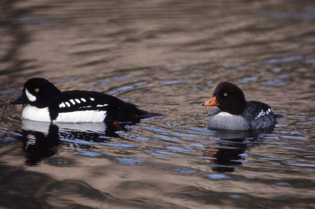 Barrow's goldeneye hen & drake Picture